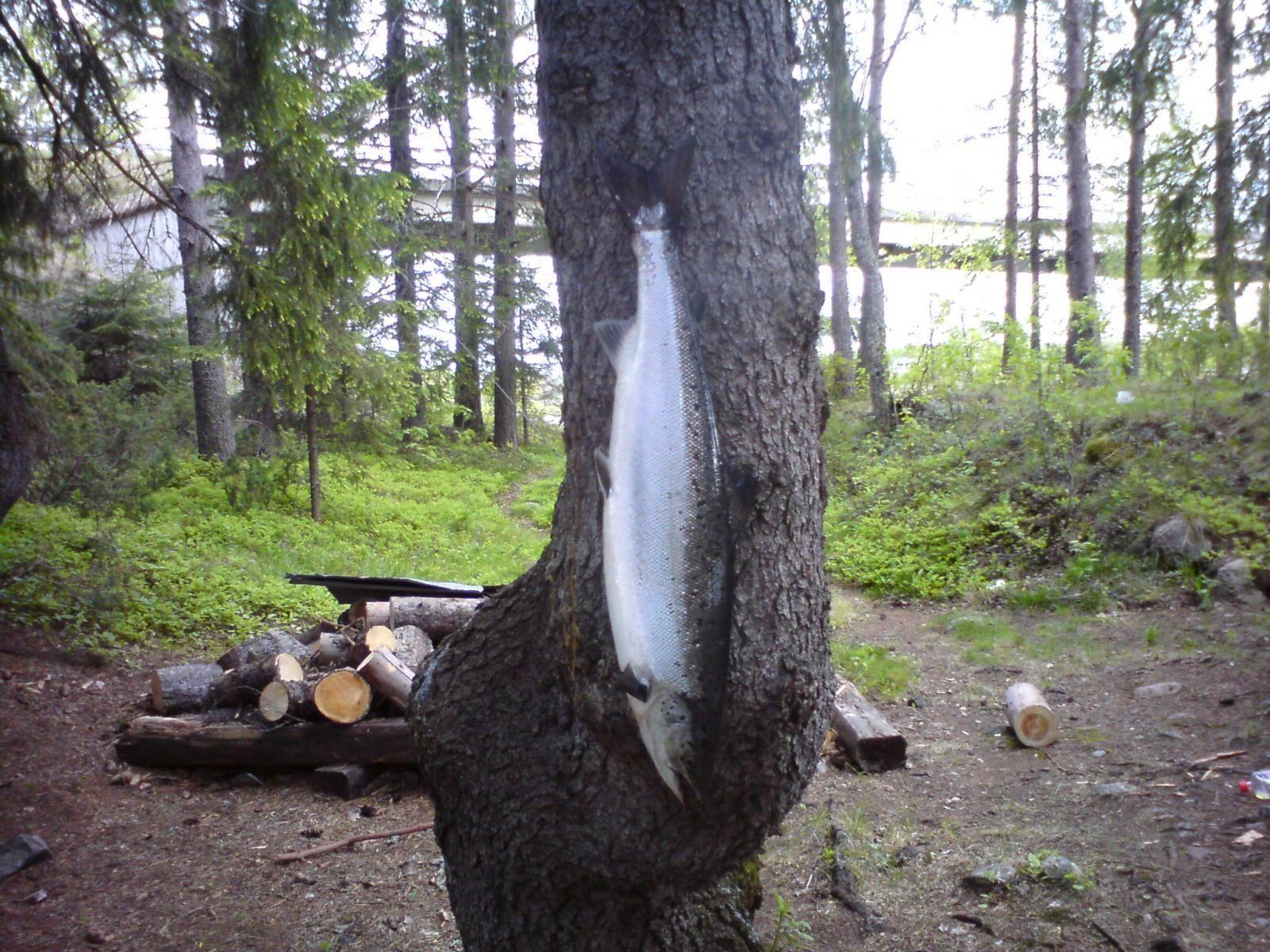 Första laxen på flugspö 6,8 kg 80 cm