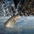 Norrlands flugfiskare
